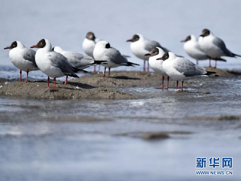鸥翔青海湖