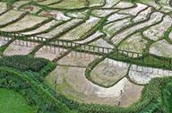 湖南:抢插水稻 生产自救