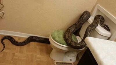 6米的大蟒蛇.