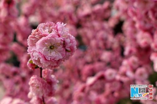 过一冬的蛰伏,草木发芽,春花吐蕊,正值赏花的好时节.新华网金