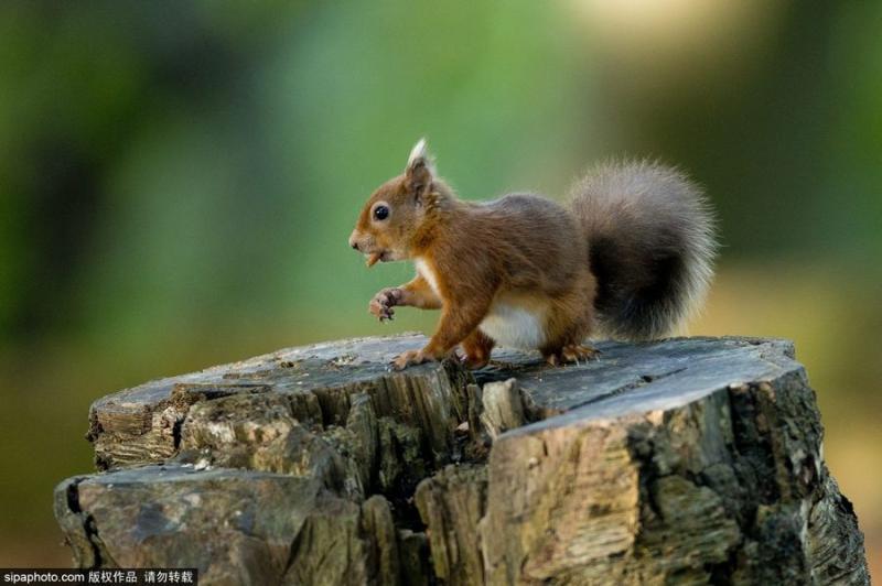 英国白浪岛红松鼠采集过冬食物