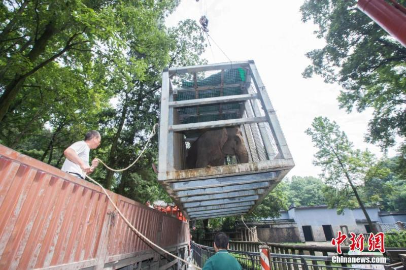 杭州动物园大象怀孕回娘家 动用吊车来搬运