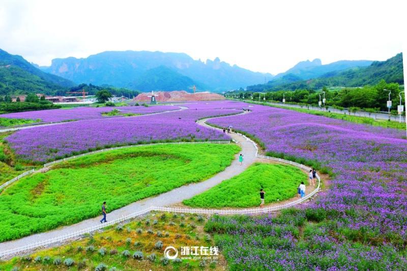 7月11日,位于浙江台州仙居县神仙居的200多亩马鞭草进入盛花期,吸引